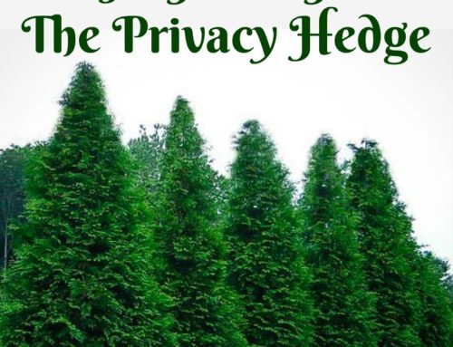 Thuja Green Giant: The Privacy Hedge