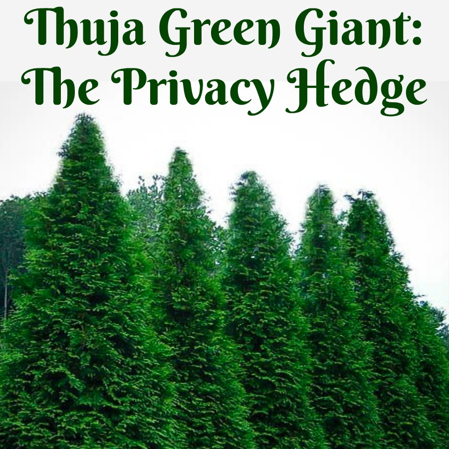 Thuja Green Giant The Privacy Hedge