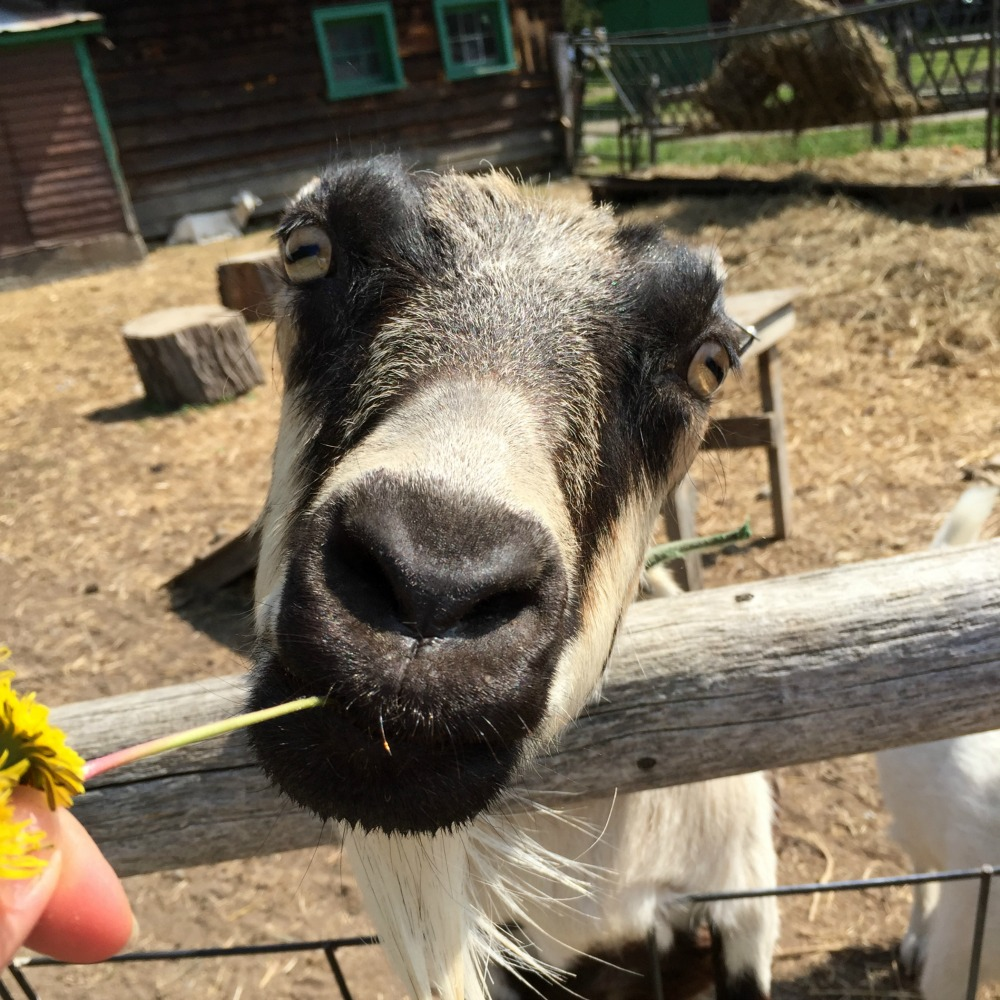 Indian Ladder Farms Goat