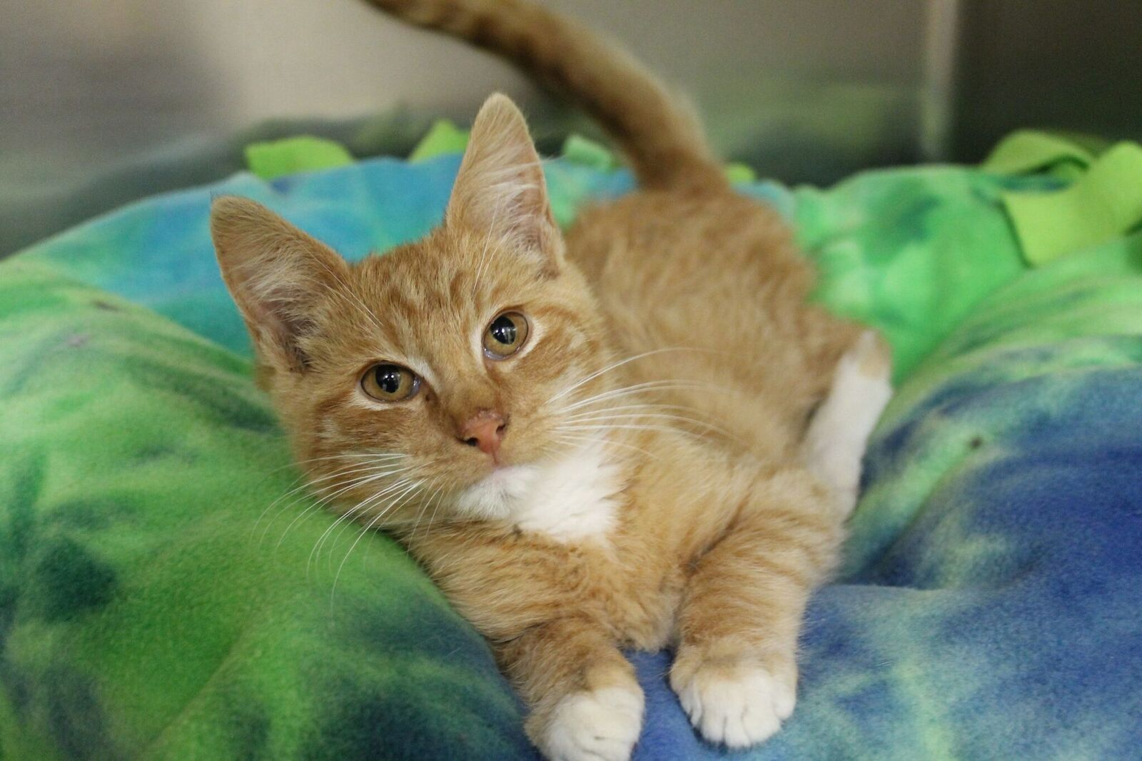 Scotties Cat Adoption