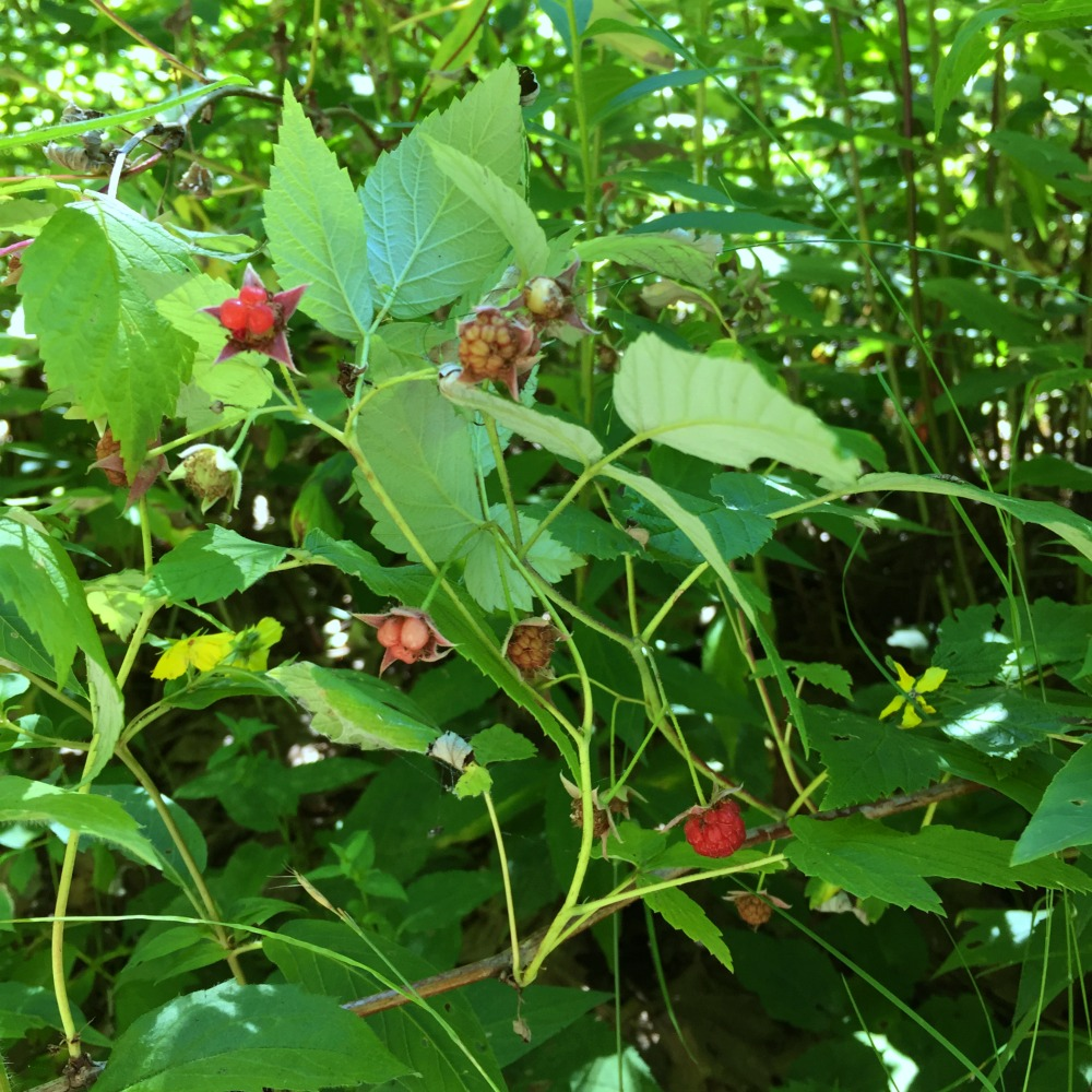 Overlook Mountain Raspberries