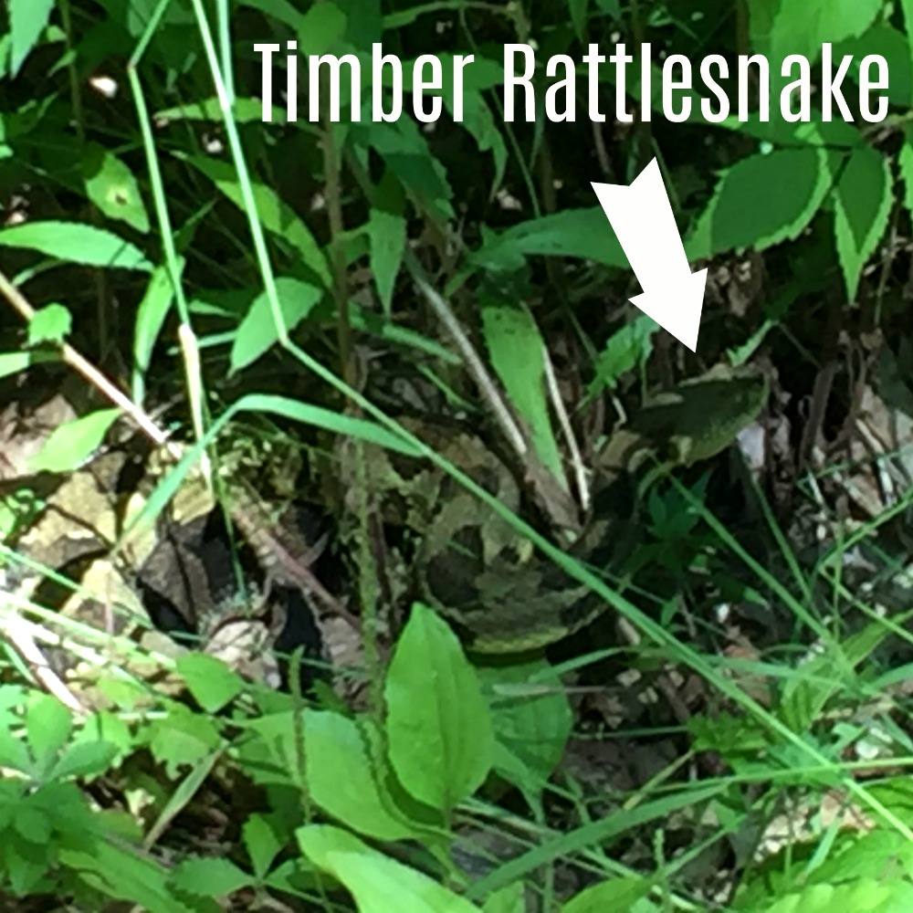 Overlook Mountain NY Timber Rattlesnake