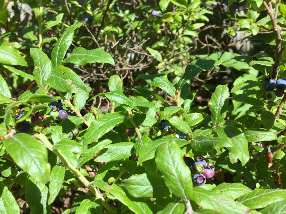 Overlook Mountain Blueberries