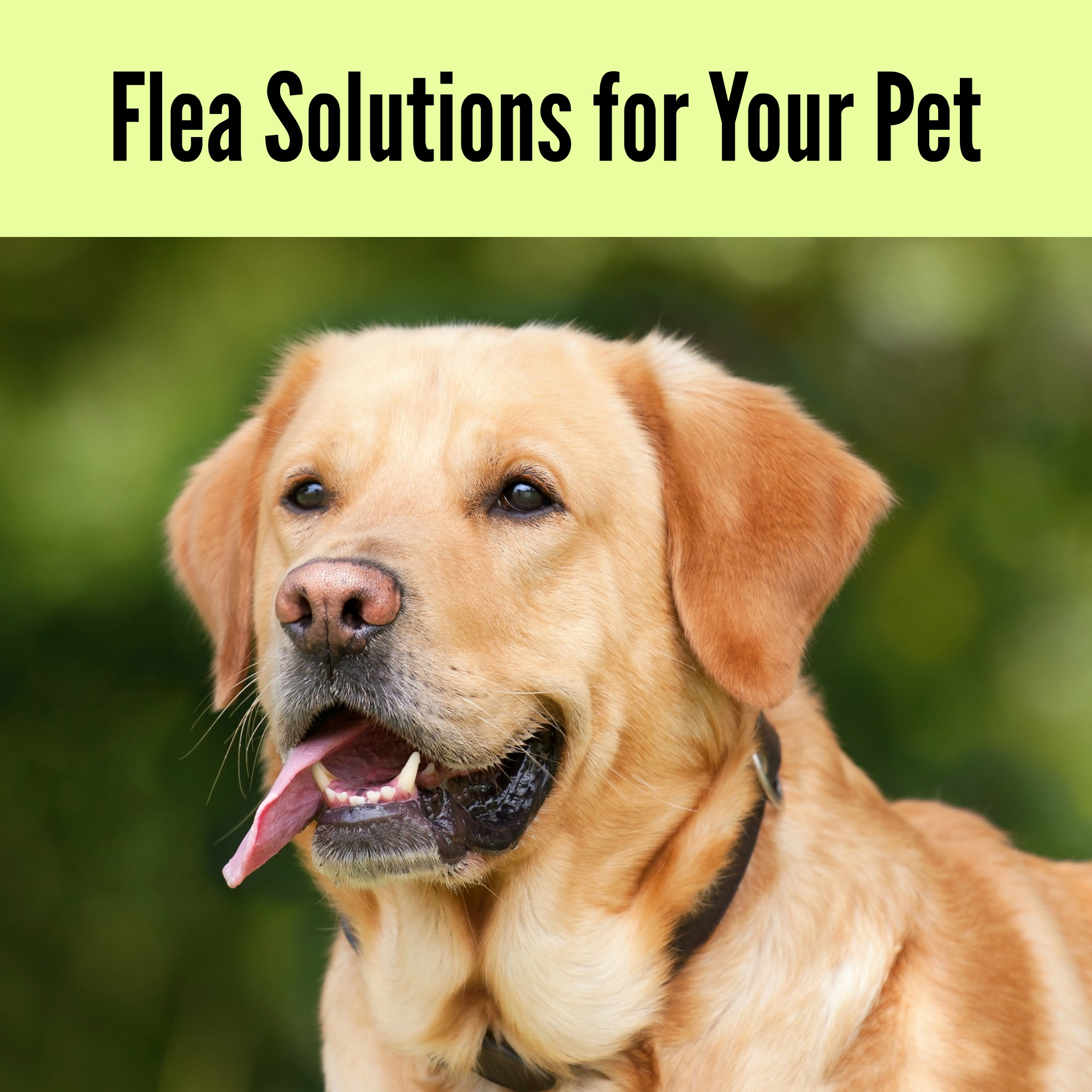 Flea Solutions for Your Pet