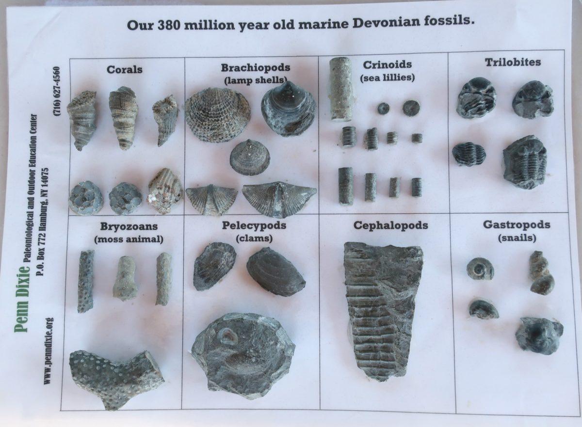 Penn Dixie Fossil Park Trilobites