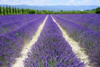 Lavender Field France