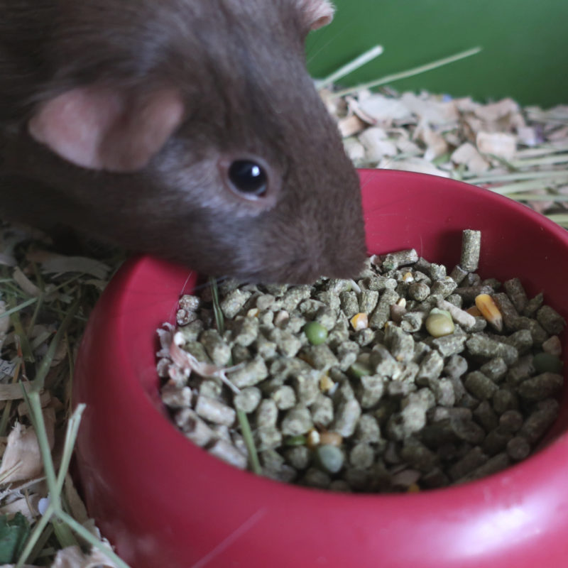 Carefresh Guinea Pig Food Chewy