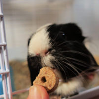 Chewy Pet Products guinea pig