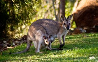 Wallabies Australia